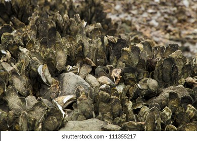 Exposed oyster beds in the pluff mud of the marsh during low tide.