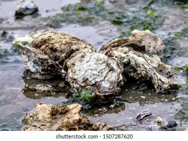 Exposed oysters and oyster beds low tide at Hood Canal Washington