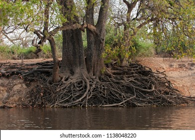 The exposed root system of a giant Jackal-berry tree with its roots exposed, on the river banks of the Chobe river, Botswana. Diospyros mespiliformis