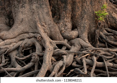 The exposed root system of a giant The exposed roots of a Jackal-berry tree on the river banks of the Chobe river, Botswana. Diospyros mespiliformis