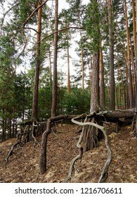 Exposed tree roots due to soil erosion in Roztocze National Park in Poland