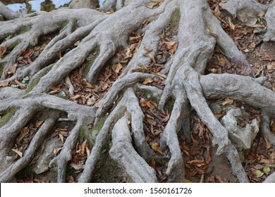 Exposed tree roots intertwined with fallen leaves