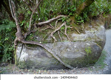 Exposed tree roots wrapped around moss covered rock, rock cracked where roots have penetrated.