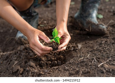 Expression of hand with plant in planting concept: Two hands holding a seedling to transplanting into fertile soil for organic farming and symbols for new start of growing time to something.