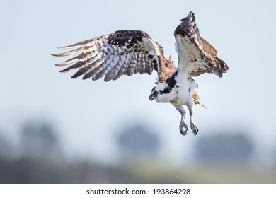 An expression of an Osprey missing the catch on its first diving attempt.
