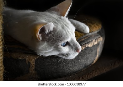 Expressive blue eyed white cat laying on a pillow, isolated on a black background