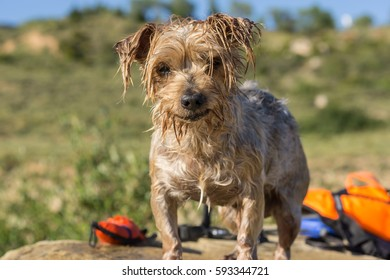 Expressive Dog wet after swimming, blurry background a float and a water toy. Doggy with curiosity expression doggie. Yorkshire Terrier brown dog
