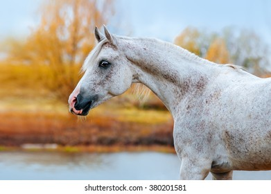 Expressive portrait Arab stallion in profile in the autumn yellow background. The horse stands on the bank of the river