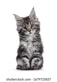 Expressive silver tabby Maine Coon cat kitten, sitting facing front. Looking at lens with attitude. Isolated on white background.