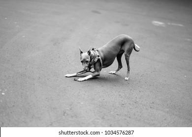exquisite italian grayhound playing