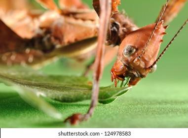 Extatosoma tiaratum. Unusual insect.