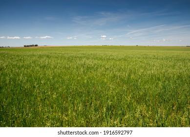 Umfassende Trockenzucht von Getreide im Sonderschutzgebiet Castro Verde. Es ist das repräsentativste Steppengebiet Portugals