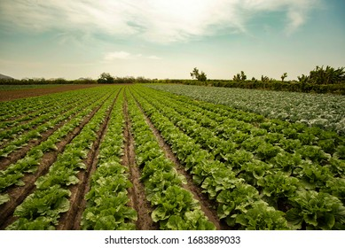 extensive field grown with lettuce