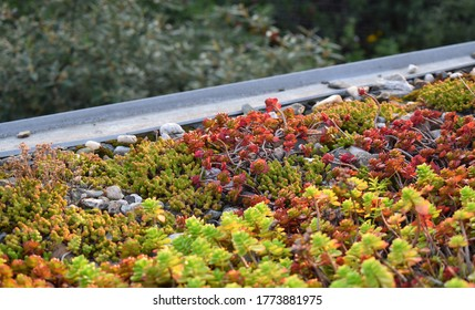 Extensive green roof with stonecrops and pebbles. Central Europe. It lasts without maintenance, watering and rain.