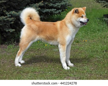 Exterior of Akita-inu dog on a natural background
