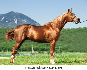 exterior of arabian chestnut  stallion at the mountain background. sunny day