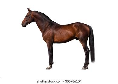 Exterior beautiful bay horse isolated on white background