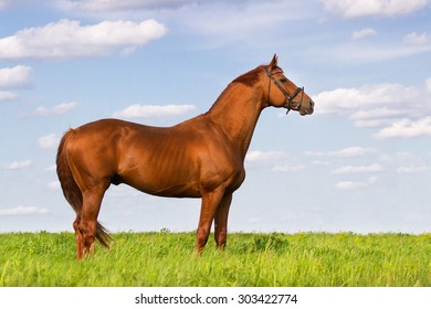 Exterior red stallion in green pasture