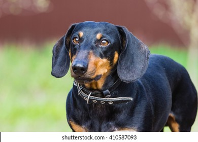 Exterior of small black dachshund on natural green background