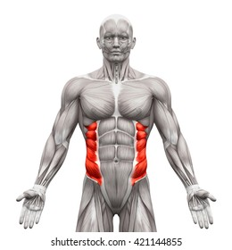External Oblique - Anatomy Muscles isolated on white - 3D illustration