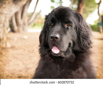 Extra large black newfoundland dog sitting in park with trees. Her mouth is open and tongue hanging out