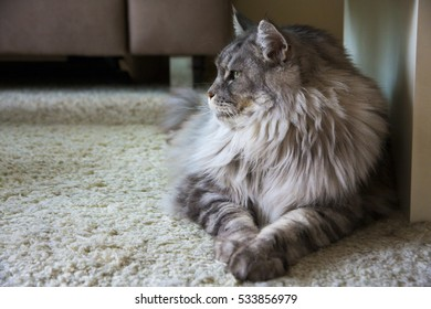 Extra large Maine Coon cat on the carpet from the side