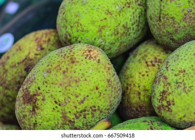 Extra large size of organic breadfruit (Artocarpus altilis) fruit for sale at the fruit market. Breadfruit is a species of flowering tree in the mulberry and jackfruit family.