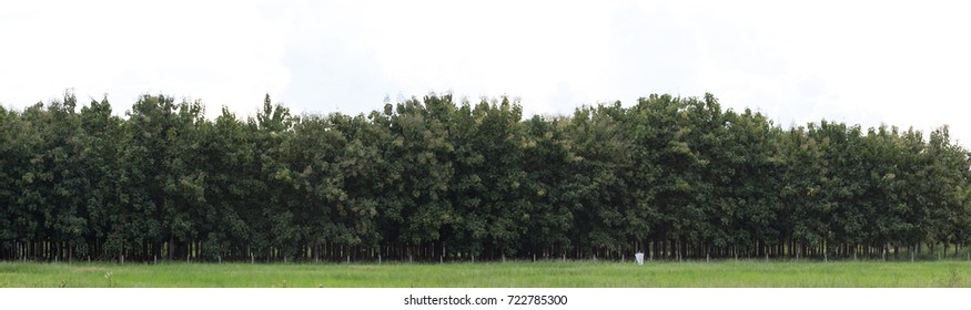 extra wide panorama view of forest teak tree, green tree forest, panorama teak forest for presentation, teak tree background for using as work space, selective focus.