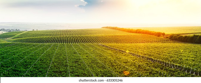 Extra wide panoramic shot of a summer vineyard at sunset