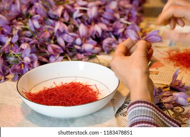 Extraction of stigmas of saffron in France