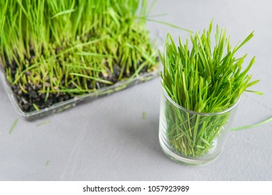 Extraction of Wheatgrass on the kitchen, copy space, gray background, view from above