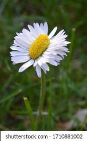extraordinary odd strange daisy double as broad as normal on green grass outdoors in springtime as sign for the variety in creation
