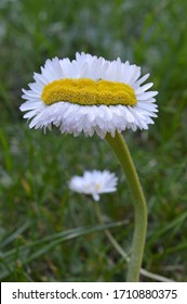 extraordinary odd strange daisy quintuple as wide as normal on green grass outdoors in springtime as sign for the variety in creation