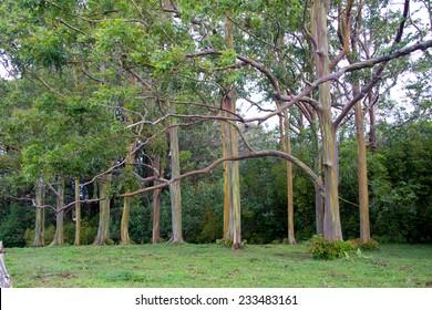 Extraordinary Rainbow Eucalyptus Grove on the road to Hana, Maui, Hawaii