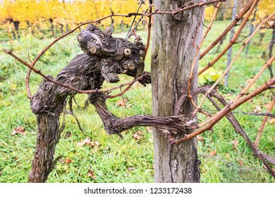 extraordinary shaped old grapevine in autumn looking like a scary creature - Wachau Austria