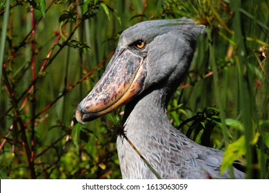 The extraordinary-looking Shoebill is related to the pelican and the sole representative of a monotypic family in Africa. They prefer remote permanent swamps where they specialise in hunting lungfish