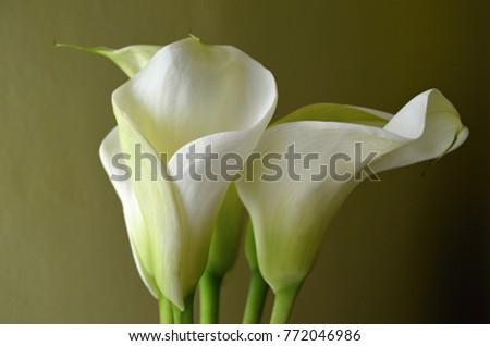 Extravagant white flower kala on yellow stock photo edit now extravagant white flower kala on a yellow background mightylinksfo