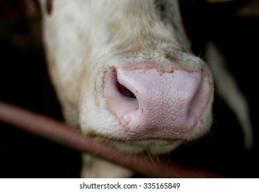 Extreme close up of cow's muzzle on dark background