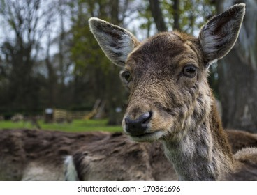 Extreme close up of a curious young deer, Looking directly at the camera.