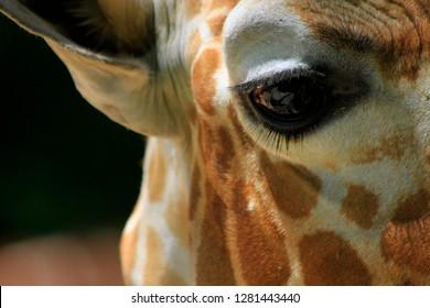 Extreme close up of giraffe eye