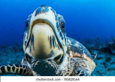 Extreme close up of a hawksbill sea turtle in the wild. Image made in The Bahamas