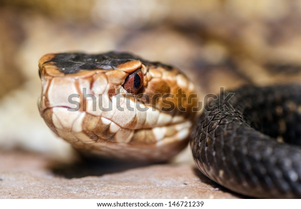 extreme-close-image-cottonmouth-snake-60