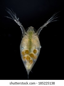 Extreme close up of a live water flea (Daphnia magna) showing eggs, isolated on black background