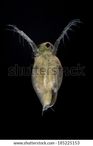 Extreme Close Live Water Flea Daphnia Stock Photo Edit Now