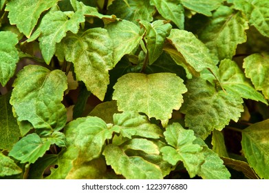 Extreme close up of lush green patchouli plant used to make essential oils.