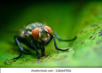 Extreme close up macro flesh fly on green leaf