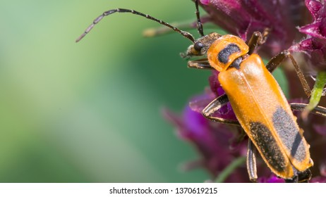 Extreme close up macro of goldenrod soldier beetle - on wildflower in Theodore Wirth Park