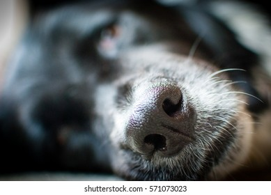 Extreme close up of an old dogs nose.