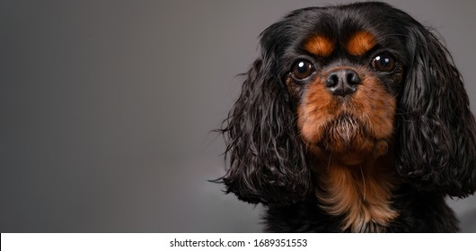 Extreme close up portrait of a beautiful Cavalier King Charles Spaniel dog against a gray background. Straight forward face shot. Dog looks into the camera lens.