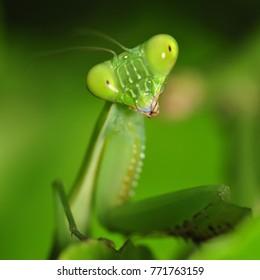 Extreme close up Praying Mantis  or Mantis Religiosa